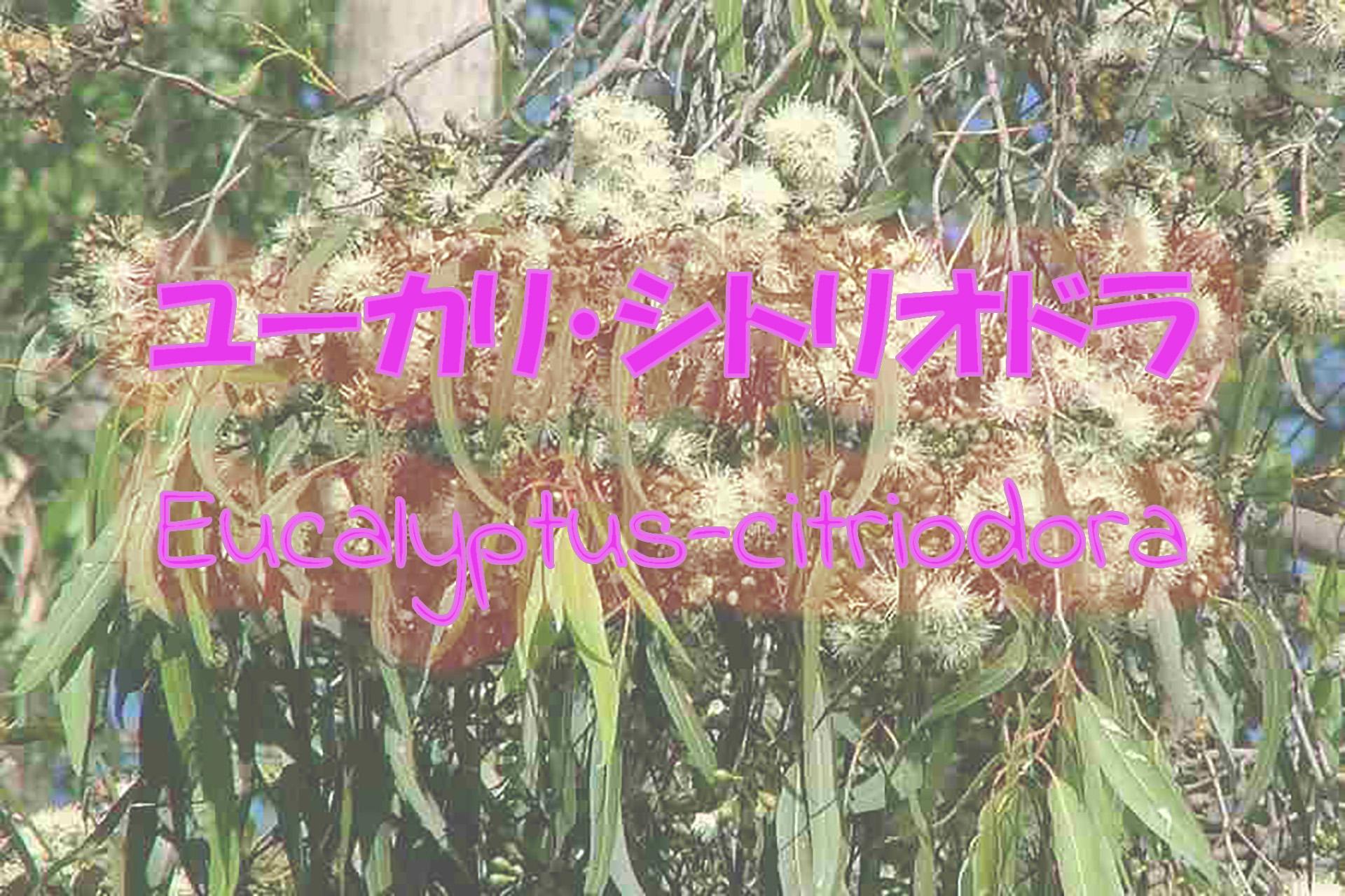 eucalyptus-citriodora_191117