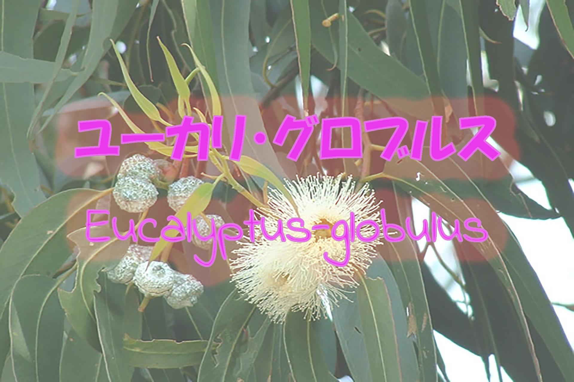 eucalyptus-globulus_191117