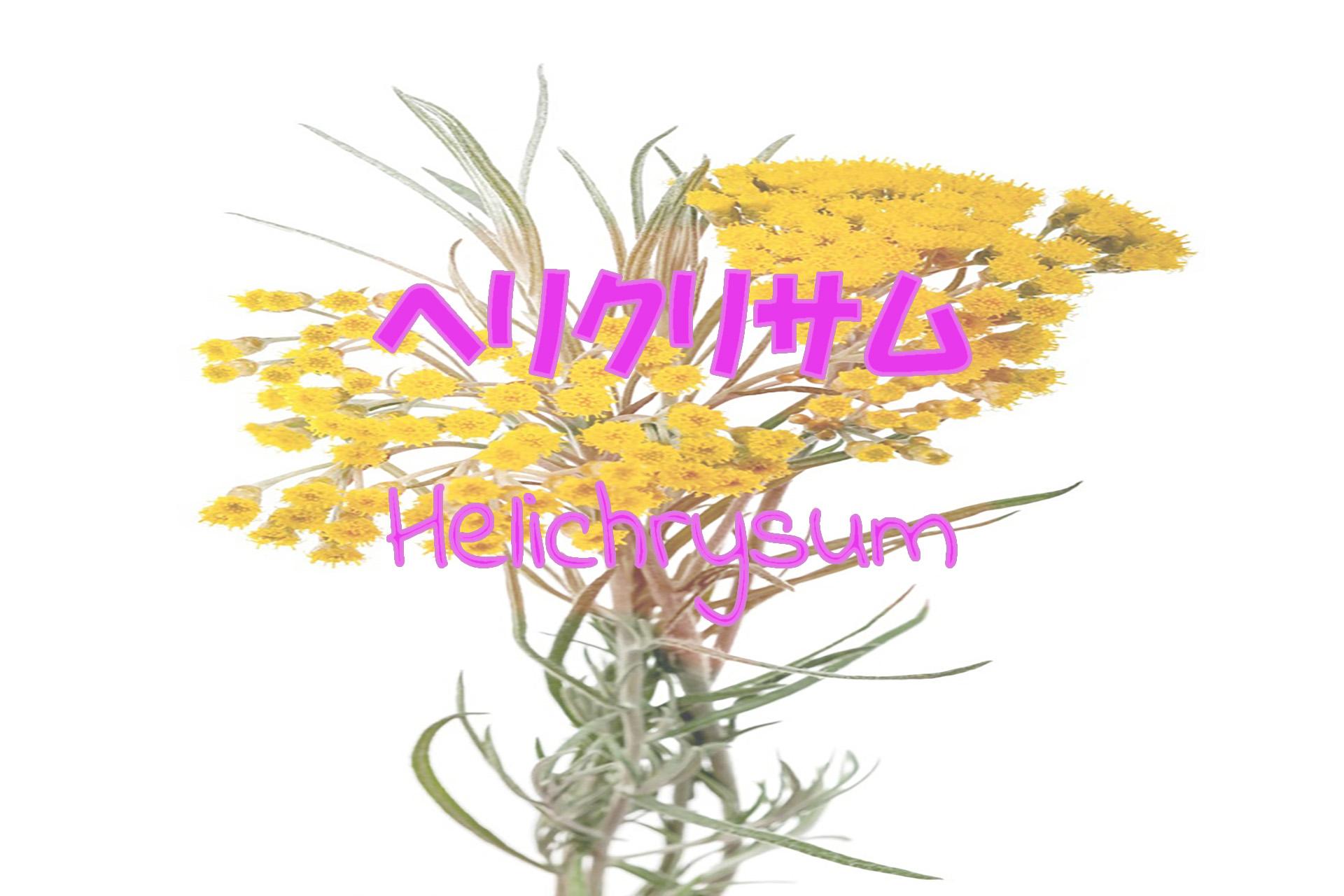 helichrysum_191117