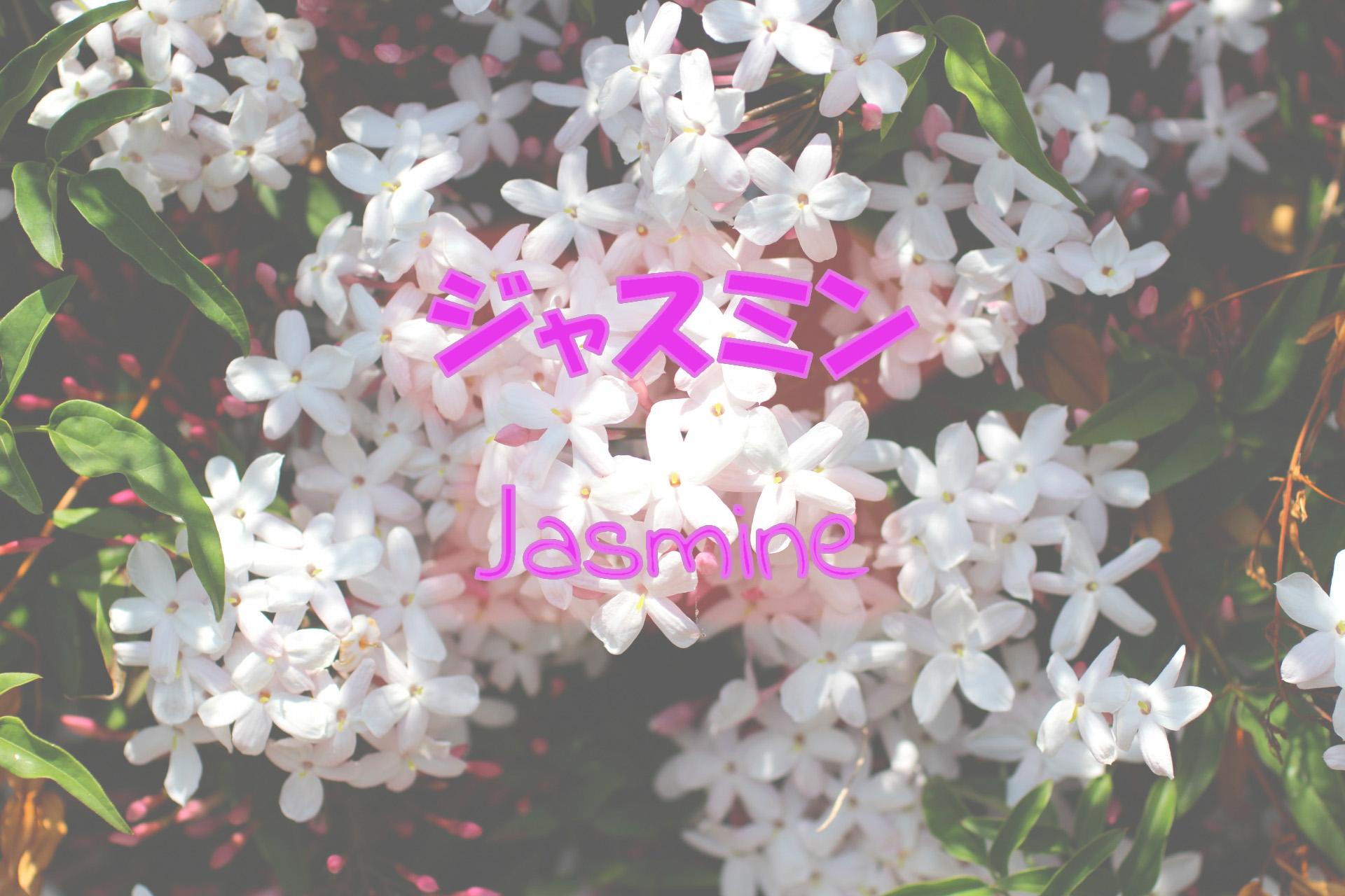 jasmine_191117