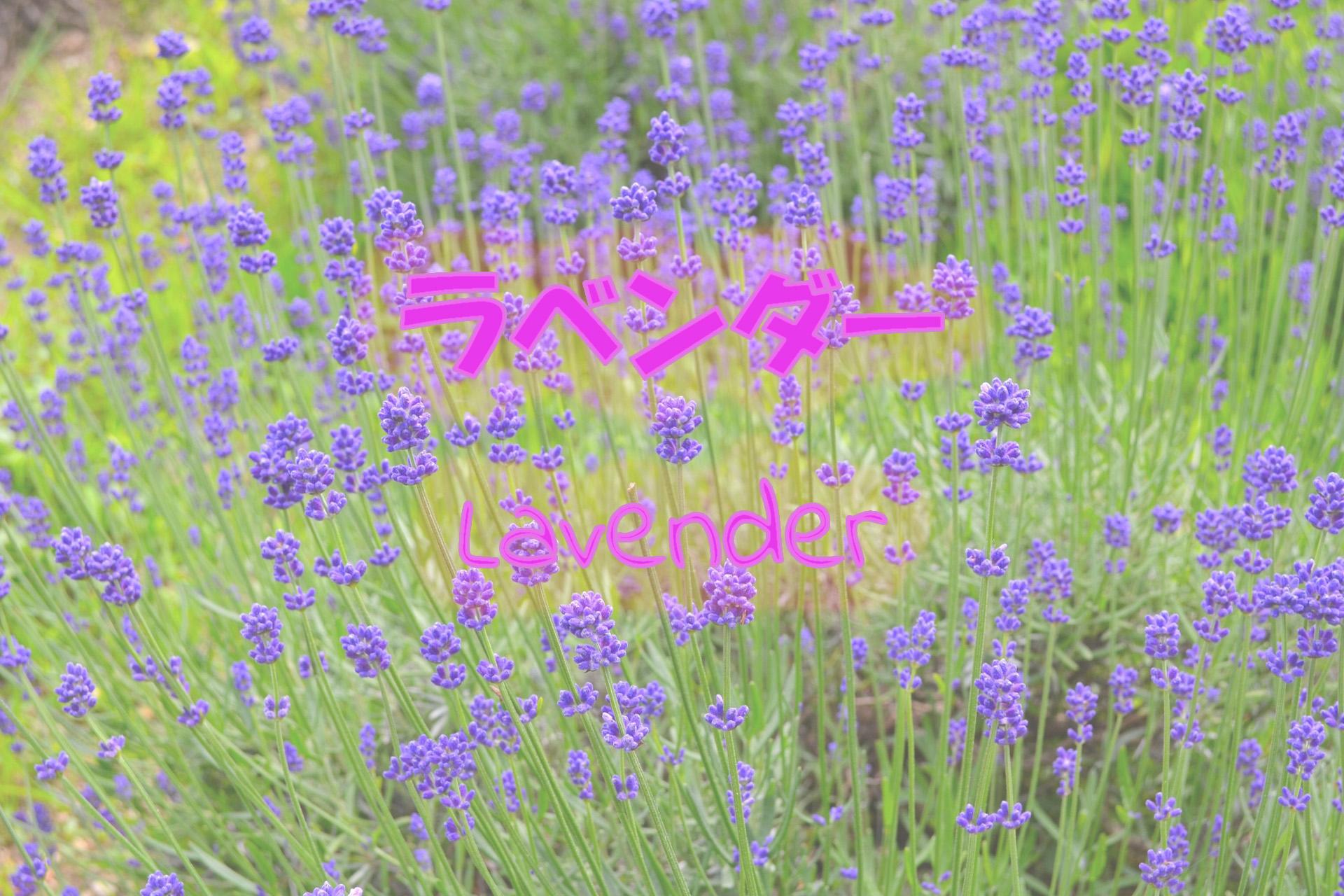 lavender_191117
