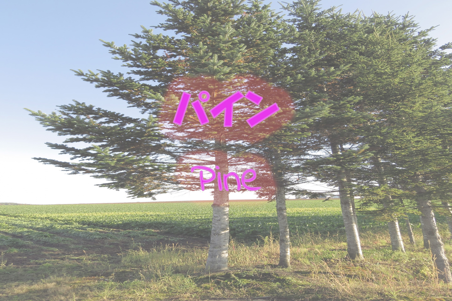 pine_191117